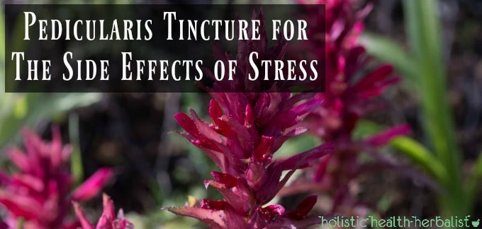 Pedicularis Tincture for The Side Effects of Stress